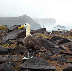 The waved albatross is found only on Espanola Island in the Galápagos; the only place in the world where it nests and reproduces. It lives in the Galápagos from mid-April to mid-December, and spends the other six months on the open ocean as far away as Japan. This albatross is the largest bird in the Galápagos, with a wingspan of over 2.5 meters. These birds feed at night, far from shore. (Photo by Rob Otto, 2001)