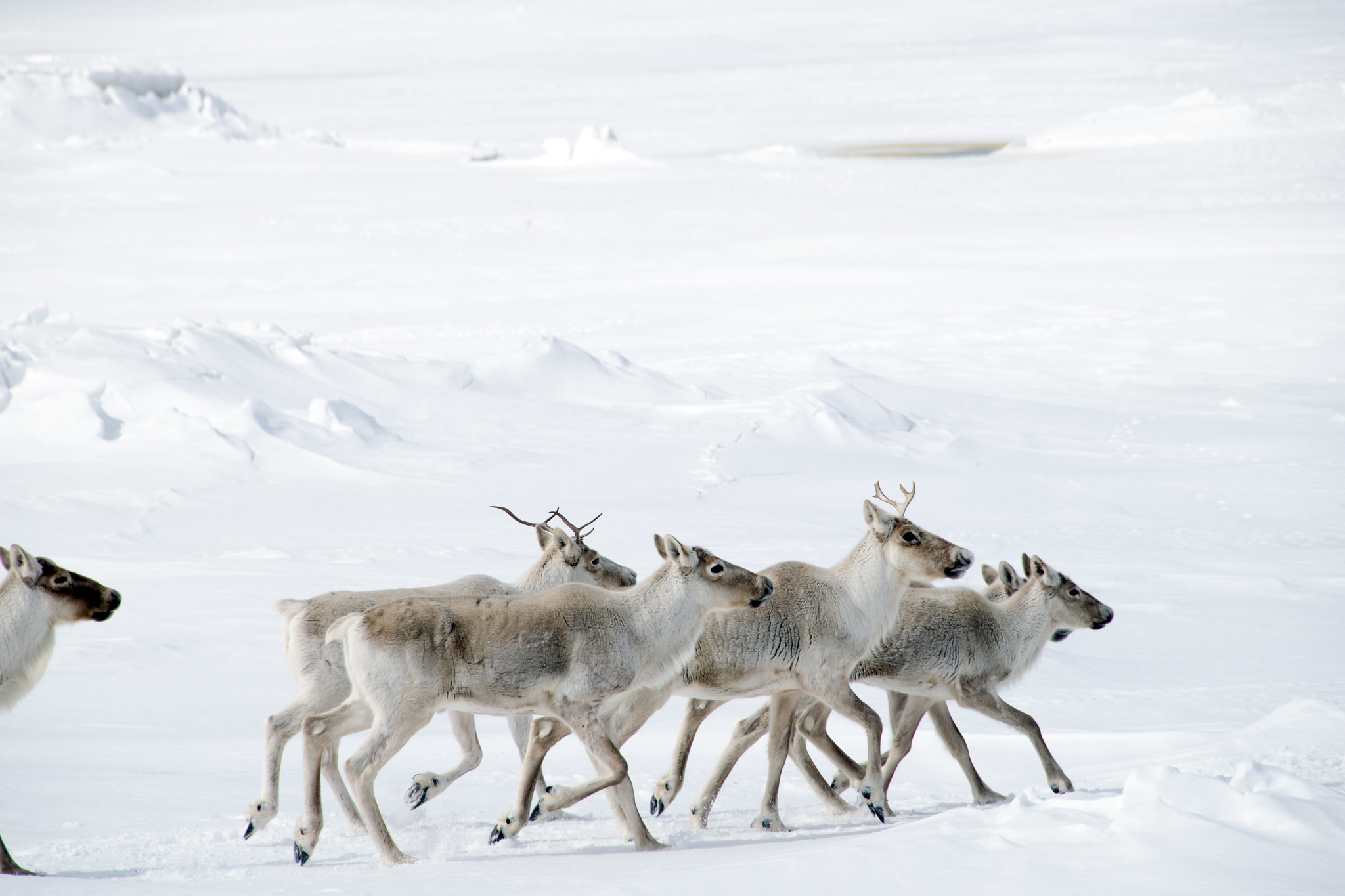 Caribou crossing pack ice (Paul Asman and Jill Lenoble, Flickr)