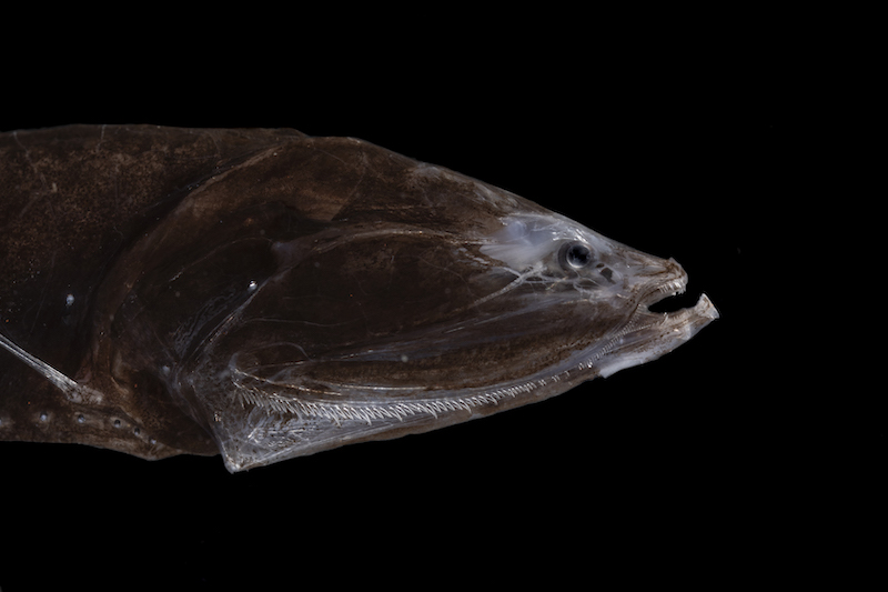A brownish fish against a black background