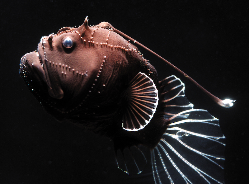 A brown, squarish bumpy fish with a bioluminscent lure, or esca, on its head.